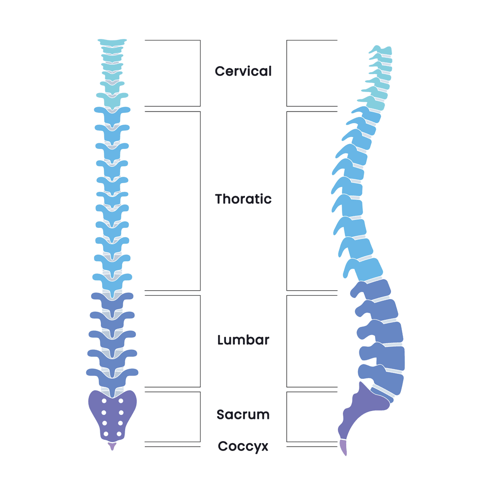 Human spine structure anatomy diagram infographic